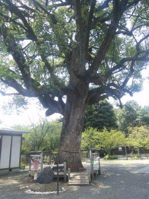 平野神社 御神木「樟」