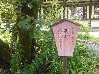 桜「嵐山」