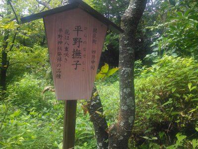 桜「平野撫子」
